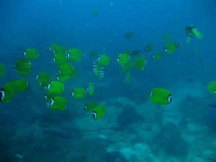 タオ島 魚 ツキチョウチョウウオ
