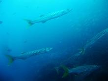 タオ島 ダイビング 魚 ピックハンドルバラクーダ