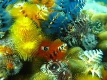 タオ島 ダイビング 魚 イバラカンザシ
