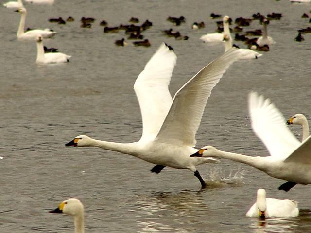 kohakucyou02-1コハクチョウ飛翔