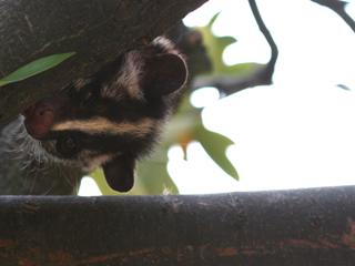 ハクビシン,はくびしん,白鼻芯,Masked Palm Civet,果子狸