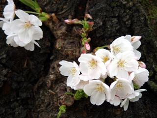 サクラ,桜