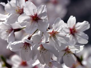 桜,ソメイヨシノ