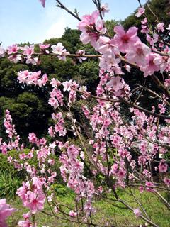 桜,サクラ