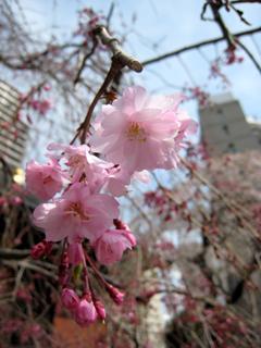 サクラ,枝垂桜
