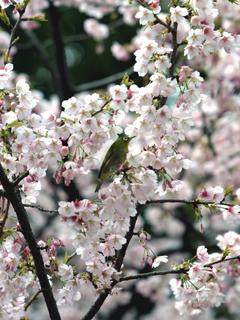 桜 メジロ