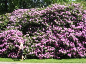 IMG_紫の石楠花_1