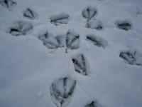 グースの足跡