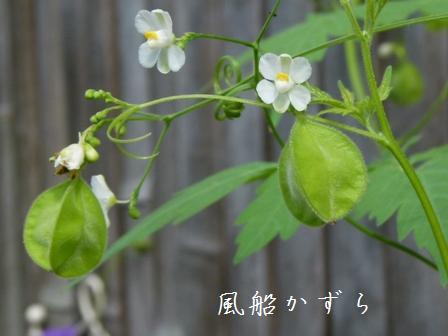 fuusenkazura.jpg