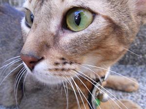 猫目<I><I>