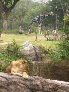 ライオンとキリン