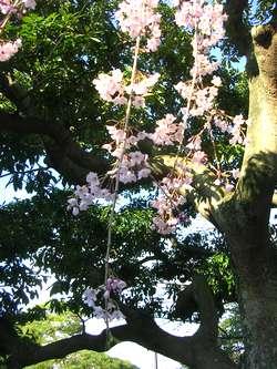 本覚寺桜2