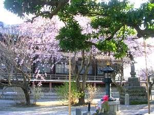 本覚寺桜1