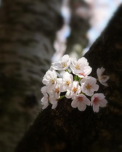 akogigaura_sakura4.jpg