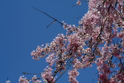 akogigaura_sakura5.jpg