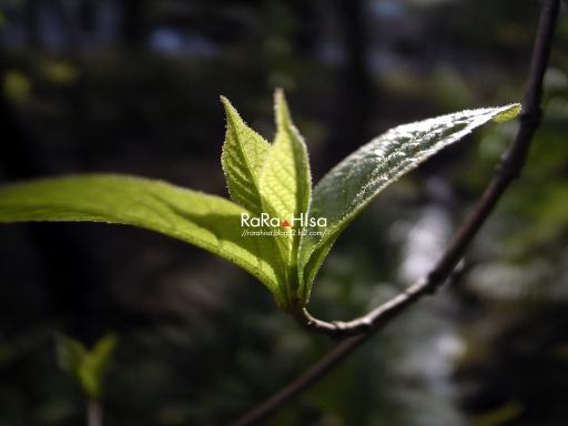 Leaf of fish hook