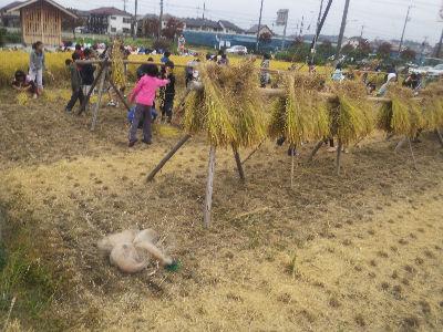 小学生の稲刈り'11