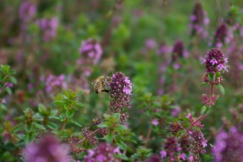 草津宿前空き地でハチとパープルな花2008秋