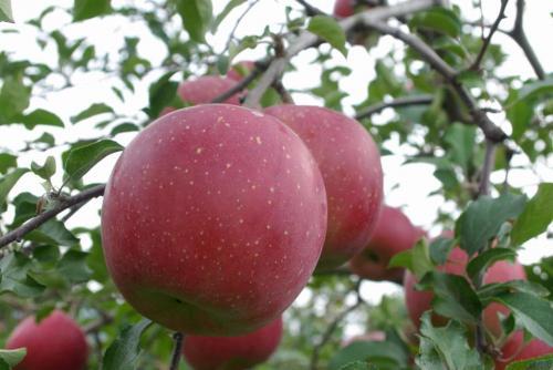 長野林檎畑2008秋