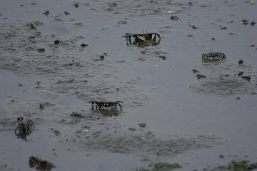 谷津干潟 蟹たち