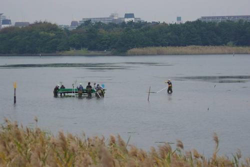 谷津干潟 海草 舟に積む