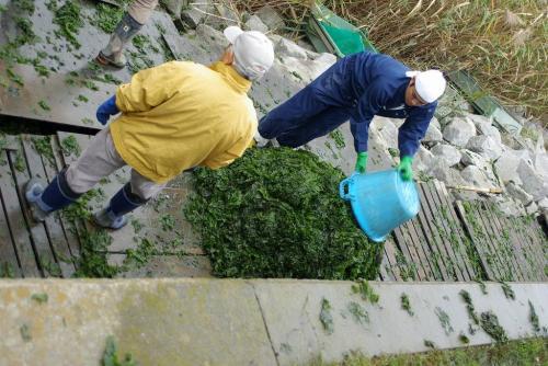 谷津干潟 海草 いっぱい