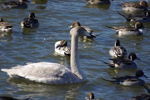 幼白鳥清水口