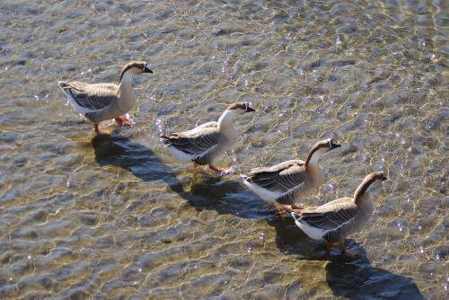 ガチョウが4羽神崎川にて2
