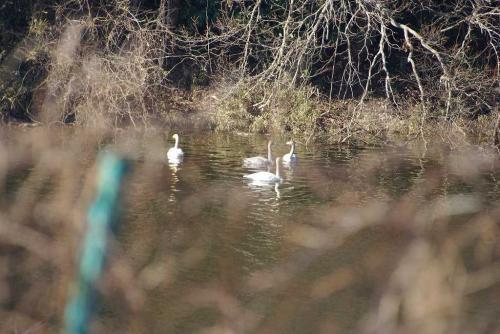 千葉ニュータウン 北総花の丘公園 ニュータウン大橋 防災調節池白鳥隠し撮りみたい