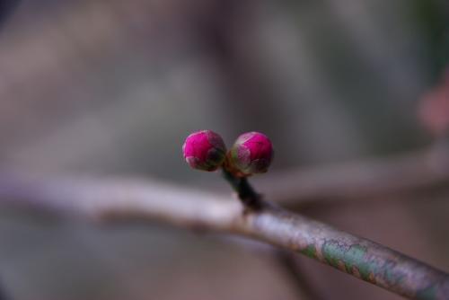 梅の芽吹き 0902