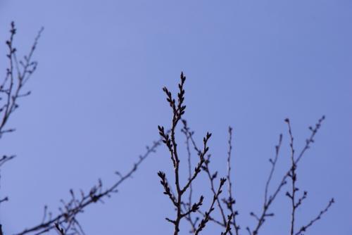 桜の蕾はまだ咲かない2009.2.22