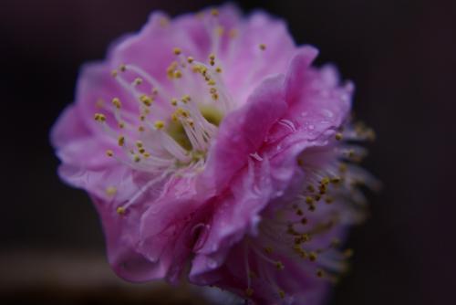 枝垂れ梅W花と時雨2009