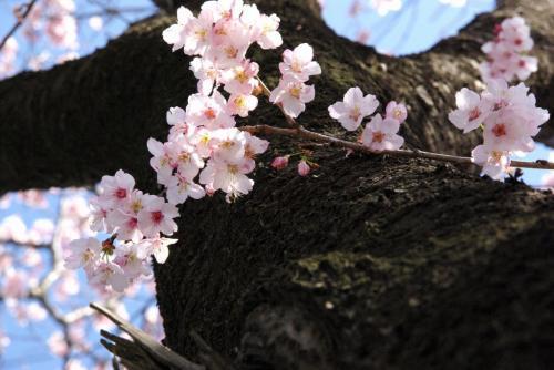 二和道 桜道 桜満開 2009.3.15