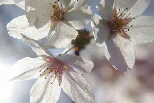 鎌ヶ谷 市制公園 桜 2009 春 桜
