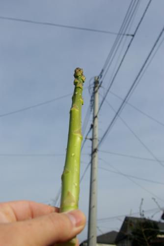 電柱と同じ位大きいアスパラガス
