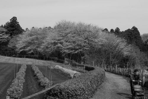千葉県立船橋県民の森 婆ちゃんと桜と畑の中道