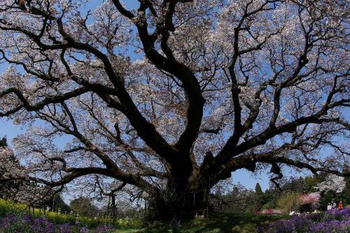 印旛村の吉高の大サクラ一本桜力強い2009
