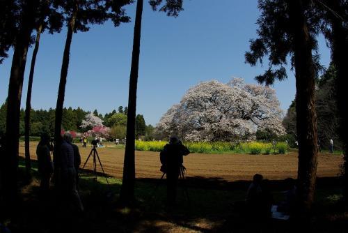 印旛村の吉高の大サクラ一本桜デカイ2009