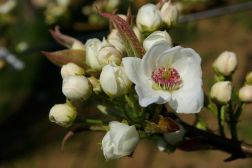 梨の花も桜と一緒に咲いています2009