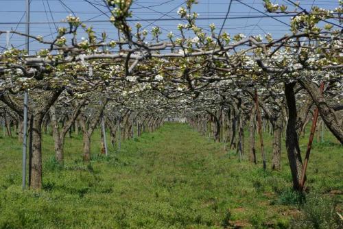 梨の花も桜と一緒に咲いていますトンネル2009