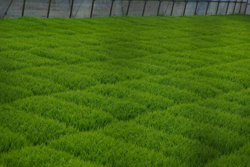 苗も青々緑が鮮やか印旛沼周辺