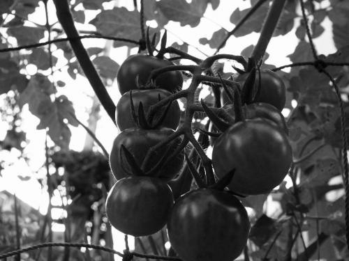 白黒R0010747トマト