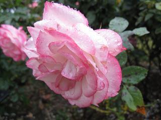 バラも綺麗!