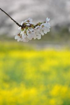 2011幸手権現堂桜堤007