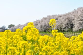 2011幸手権現堂桜堤009