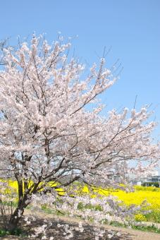 2011幸手権現堂桜堤011