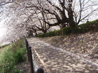 2011幸手権現堂桜堤017