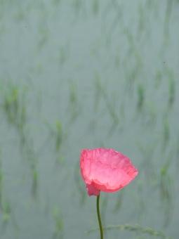 鷲宮ポピーロード2011_010