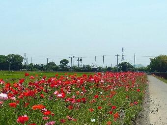 鷲宮ポピーロード2011_012