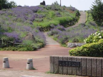 久喜菖蒲散歩 「ラベンダー山」001